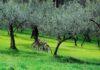 fascia olivata Assisi Spoleto