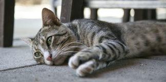 gatto_randagio