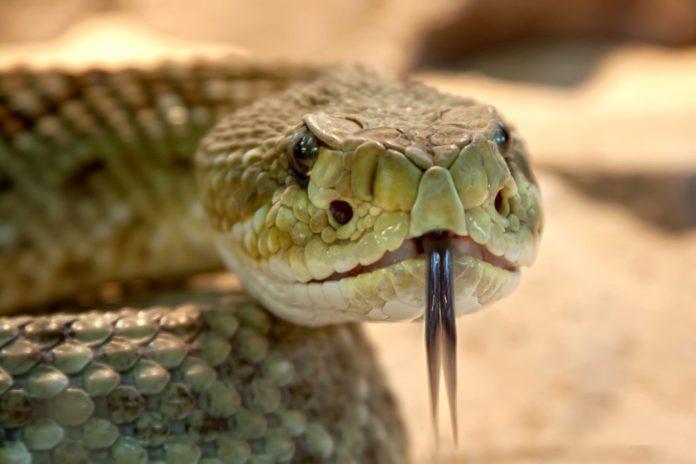 Serpente sputa veleno