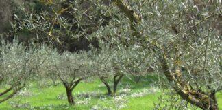 Ulivi Umbria